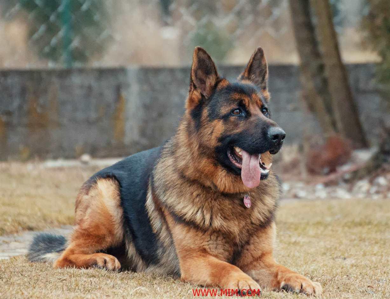 german shepherd, german shepherd facts, white german shepherd, black german shepherd, king shepherd, golden shepherd, sable german shepherd