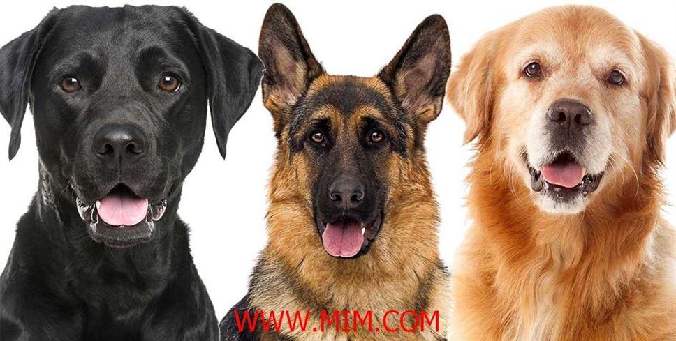 Dog breed, dog, birds, uk breed, uk dog breed, breed, Hound, Breed, Dog Breeds list, dog, beautiful dog breed, shih_ tzu dog