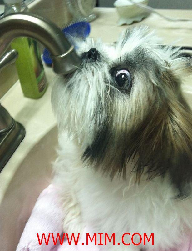 shih tzu, shitzu puppy shih tzu, shih tzu quotes so true, shih tzus, shitzu shih tzu, teacup shih tzu, white shih tzu, shih tzu dog
