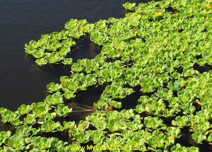 aquatic, aquatic flowers, duckweed, hydrilla, salvinia, vallisneria, hydrilla plant, underwater plants, water lettuce, Pondweed, potamogeton