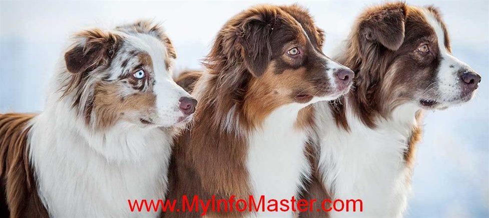 herding dog, herding breed, breed, herding, cane corso, bullmastiff, irish wolfhound, terrier ,leonberger, saint Bernard,