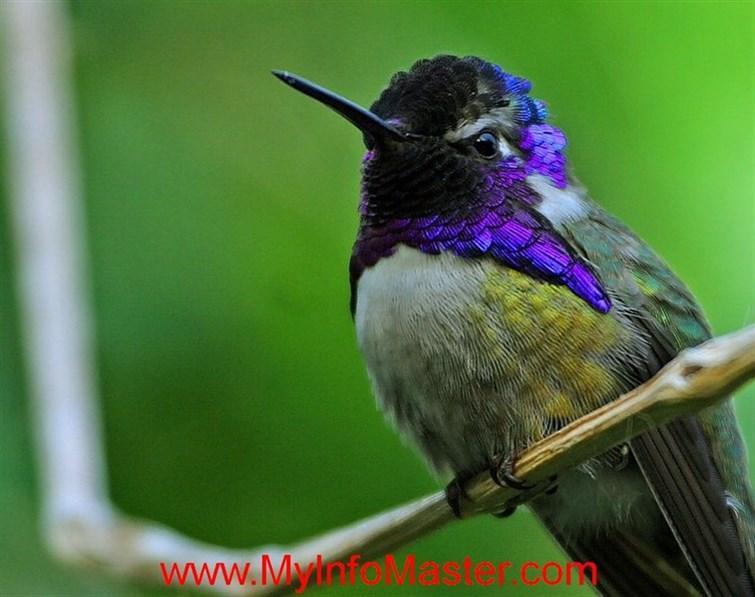 Bird, hummingbird, hummingbird species, ruby throated hummingbird, anna's hummingbird, rufous hummingbird, topaz hummingbird