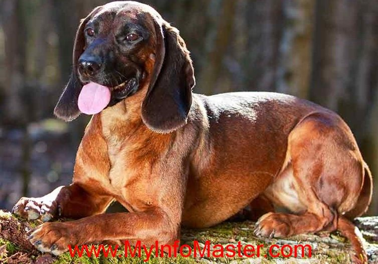 hound breed, hound group, akchound group, hound group dogs, dogswith hound in name, groupof hounds, crufts whippetbreed group, shound group crufts 2020