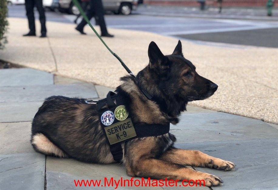 workingbreeds, workingcocker spaniel, police dog breeds, workingdog breeds, military dog breeds, working kelpie, typesof policedogs, workingspringer spaniel