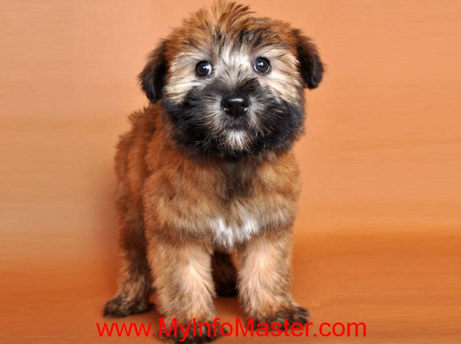 Terrier, Dogs, terrier breed, Terriergroup, bull terrier, yorkshireterrier, jack Russell, American taffordshire terrier, jack russellterrier, terrierdog,