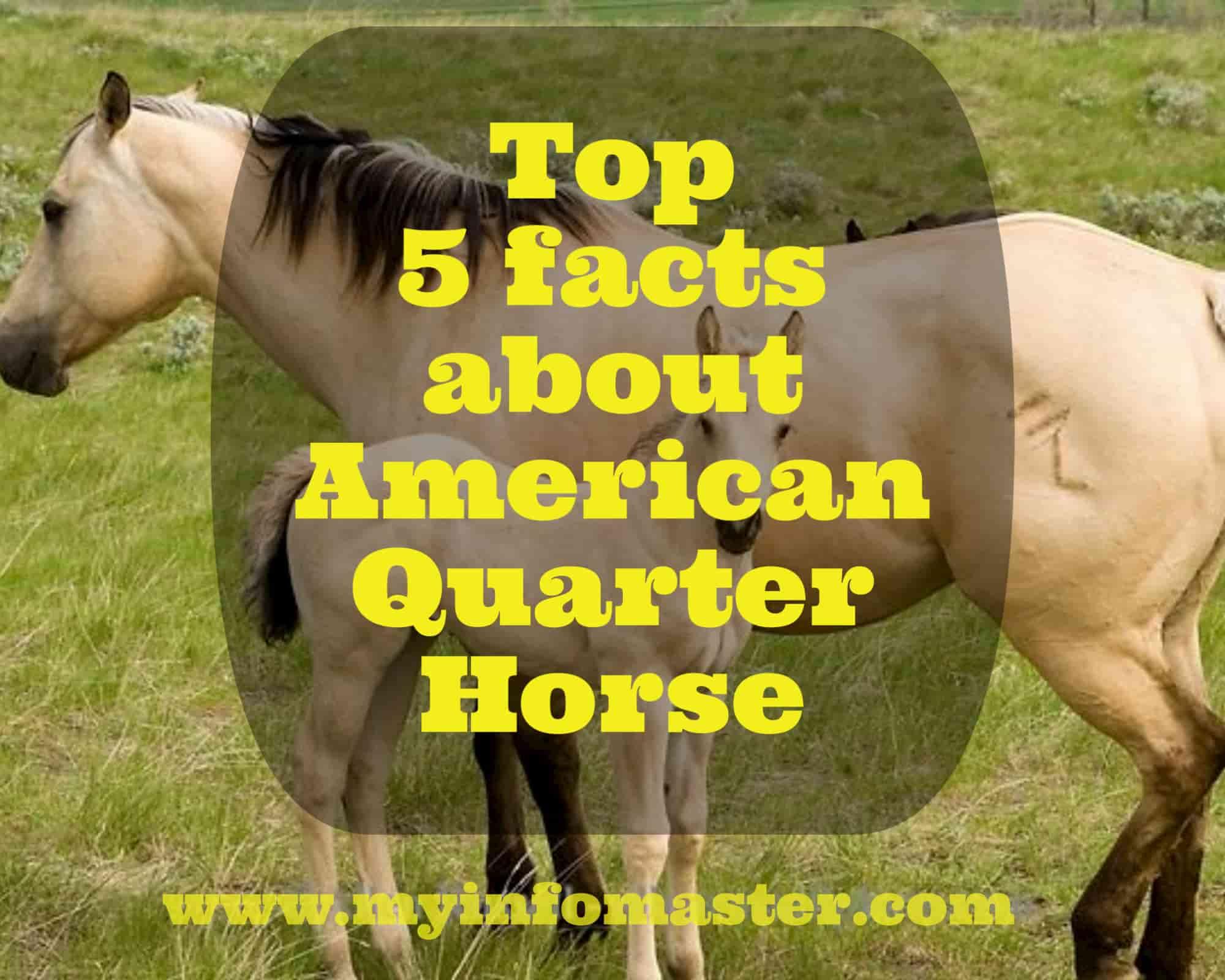 american quarter horse, aqha, quarter horse congress 2020, american quarter horse for sale, quarter horse associat, ionkuda american quarter, american paint